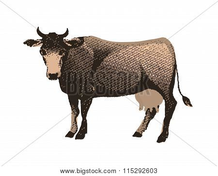 Engraving cow isolated on white background