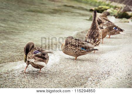 Wild Mallard Ducks On The Lake Shore, Beauty In Nature