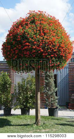 Red geranium blossoms