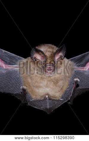 Bat Is Mammal And Call