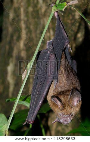 Bat Is Mammal And Call