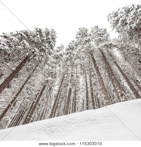 Low angle shot of snow covered pine trees in winter shot with tilt and shift lens