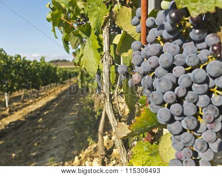 Vineyard In La Rioja Before The Harvest, Spain