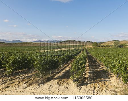 View Of A Wineyard In La Rioja, Spain