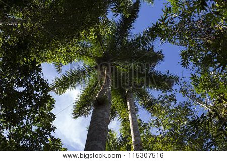 The Royal Palm Tree