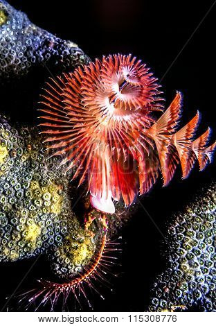 Spirobranchus giganteus commonly known as Christmas tree worms are tube-building polychaete worms belonging to the family Serpulidae