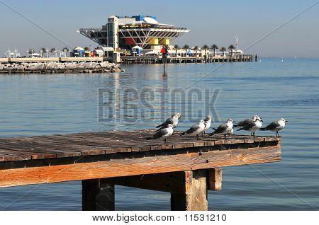 Ring-billed Sea Gulls