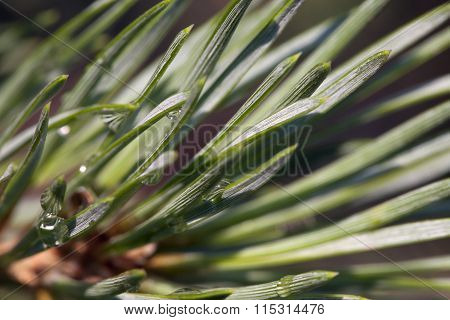 Pine bud in the spring