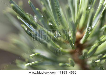 Pine after rain