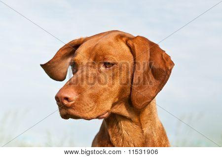 Vizsla Dog (hungarian Pointer) Closeup