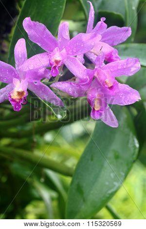 Cattleya Orchid 1