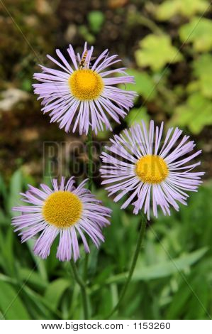 Three Aster Alpinus