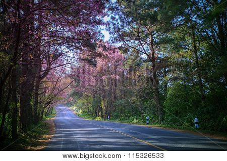 Beautiful Land Scape Of Asphalt Highway In Mountain Route With Pink Wild Himalayan Cherry Flowers Bl