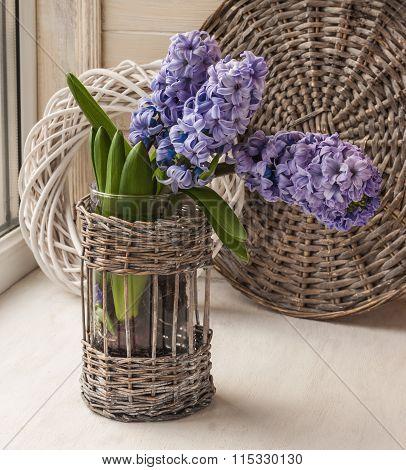 Hyacinths  Bloom In The Window