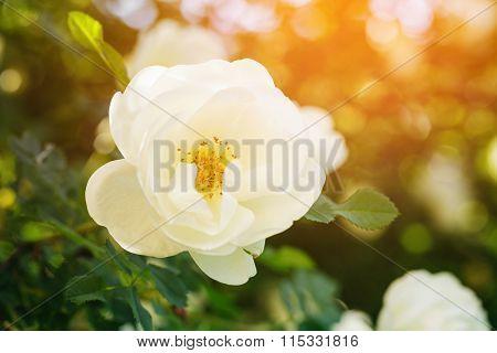 rose briar bush flowe in sunset light
