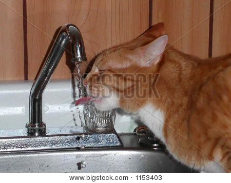 The Cat Drinking