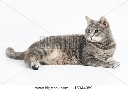 Gray Fluffy Cat