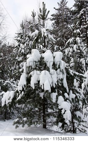 Young pine under snow.