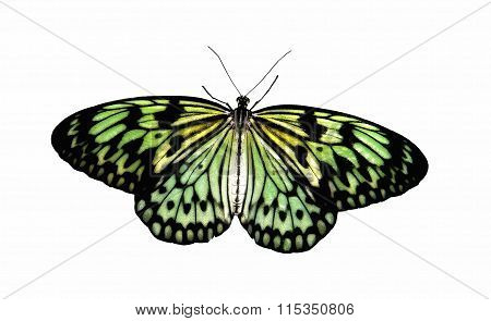 Tropical Butterfly Aurora in transmitted light