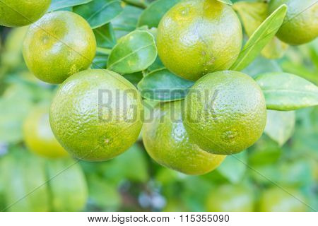 Closeup Fresh Orange Fruit In The Garden