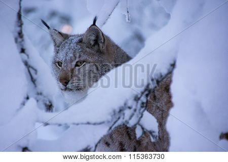 A lynx behind branches covered in snow