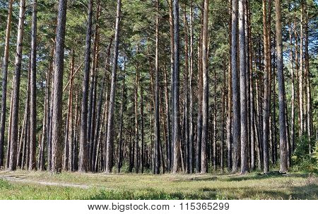 Band Of Slender Pine Trees In The Pine Forest