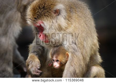 Snow Monkey Baby And Its Mother (Japanese Macaque)