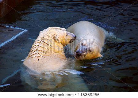 The couple polar bears in the Novosibirsk Zoo