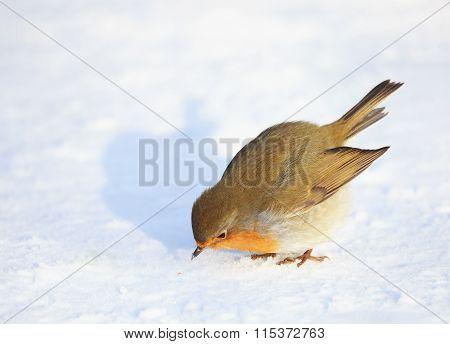 European Robin on Snow