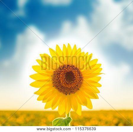 sunflower on field. soft focus