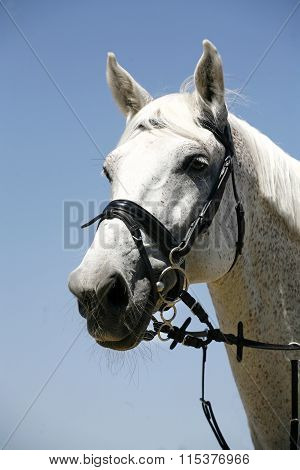 Head Shot Of A Sportive Grey Saddle Horse