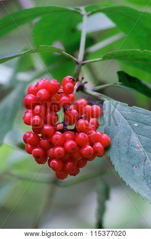 Branch of red rowan