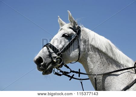 Portrait Of A Beautiful Grey Horse During Work Against Blue Sky