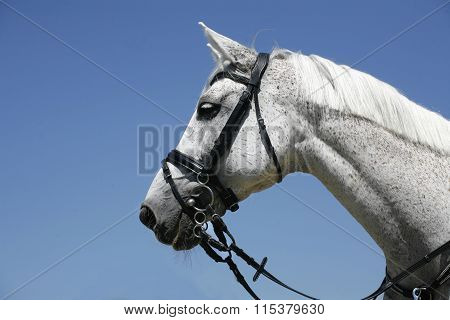 Portrait Of A Gray Sports Horse On Blue Sky Background