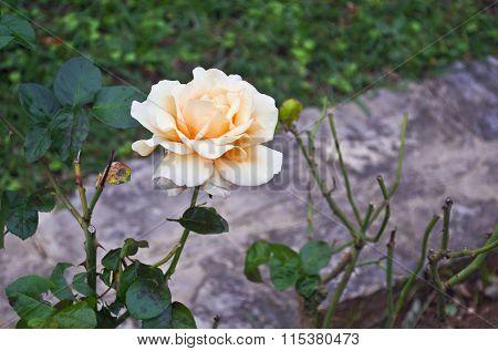white and orange rose