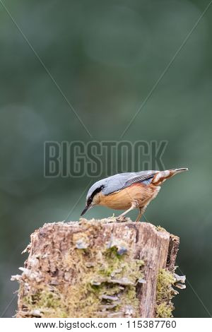 Eurasian nuthatch in tree trunk eating seed