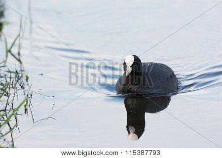 Eurasian coot swimming in water
