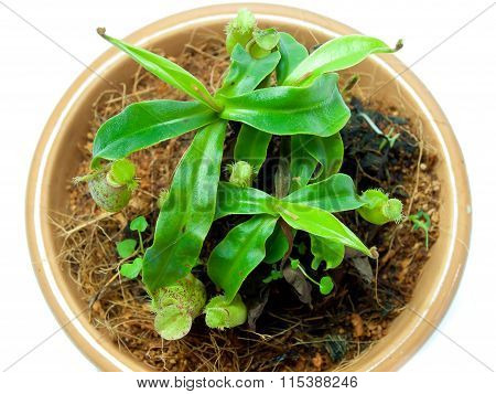 Tropical Pitcher Plants