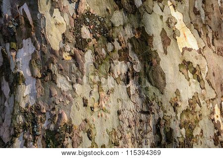Wooden Texture - A Bark Of An Old Tree. Wooden Texture Bark Autumnal Old Tree In Mountain Forest. .