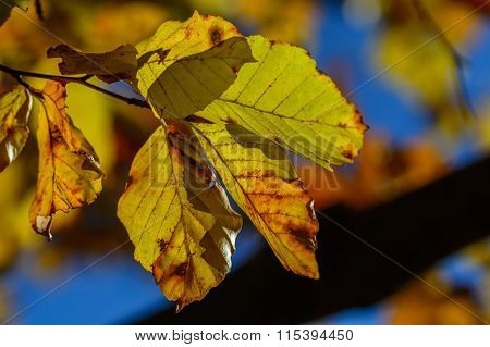Brown Yellow Leaves With Tiny Twig Over Blue Sky. Autumn Leaves Frame, Photo Of Sunlight Through Fre
