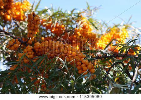 Orange cornelian cherry on tree