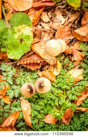 Close-up Of Mushrooms In Woods. Vertical View Of A Couple Of Mushrooms In Woods, In A Autumn Day..