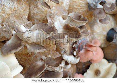 Oyster Mushroom In Nursery Bag