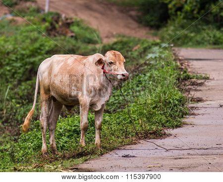 Young Cow, Thai Calf