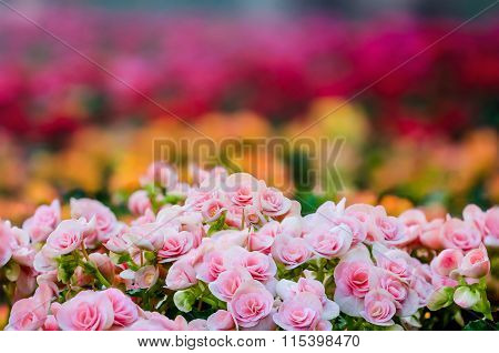 Numerous Bright Flowers Of Tuberous Begonias (begonia Tuberhybrida)