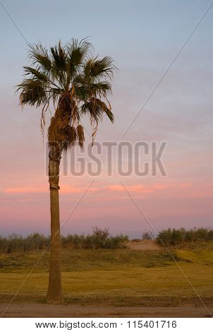 Lone Palm Tree West Coast Sunset