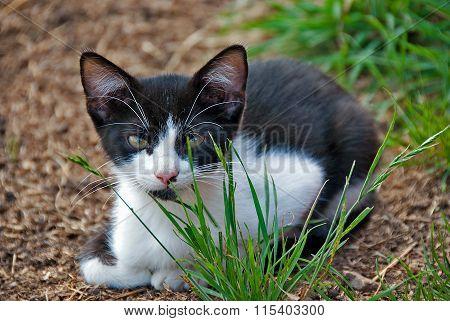 tuxedo kitten in grass