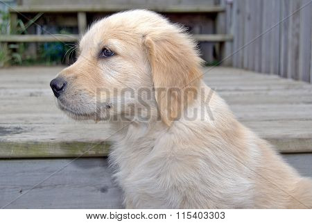 blond golden retriever puppy