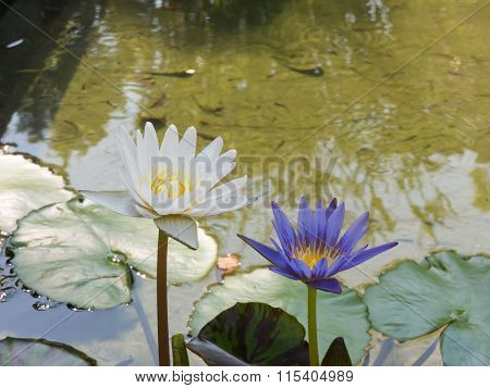 Violet and White Lotus blur background