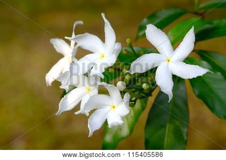 White Sampaguita Jasmine Or Arabian Jasmine; Tropical White Flower